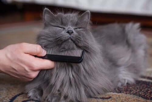Sahibinin taradığı bir kedi.