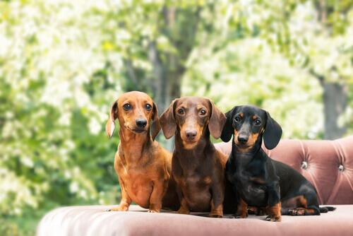 yan yana aynı cins farklı renk köpekler