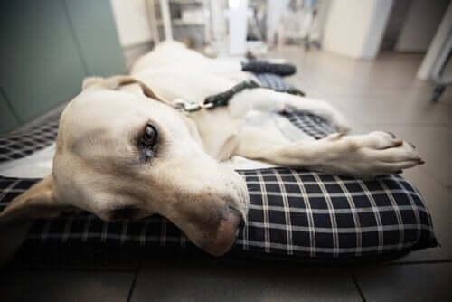 Veterinerde tedavi alan bir köpek.