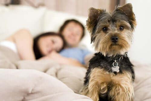 Sahiplerinin yatağı üstünde uyanık duran köpek