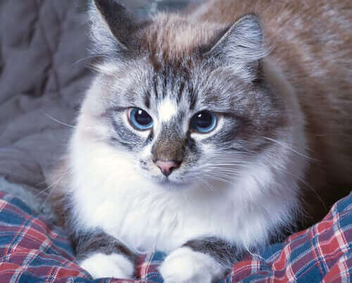 yatakta oturan çorap patili kedi