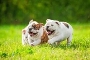 koşan üç yavru bulldog