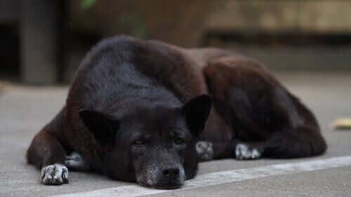 Bilişsel Bozukluk Sendromu ve Yaşlı Köpekler