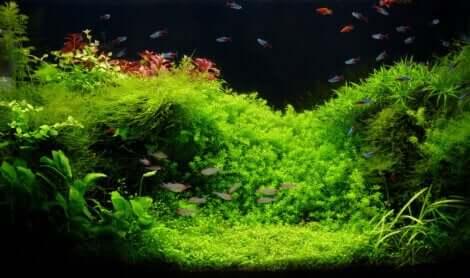 akvaryumdaki yosunlar
