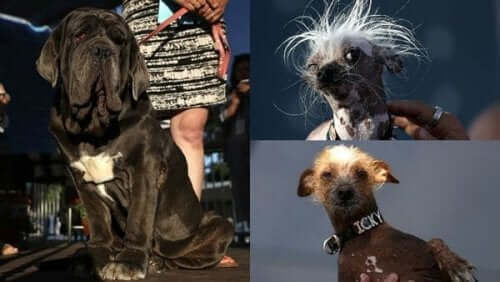 Hayvanlar için sadece güzellik yarışması değil, çirkinlik yarışması da yapılıyor.