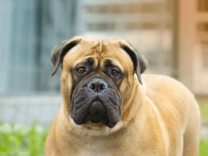 bullmastiff, köpek, özellikleri ve bakımı