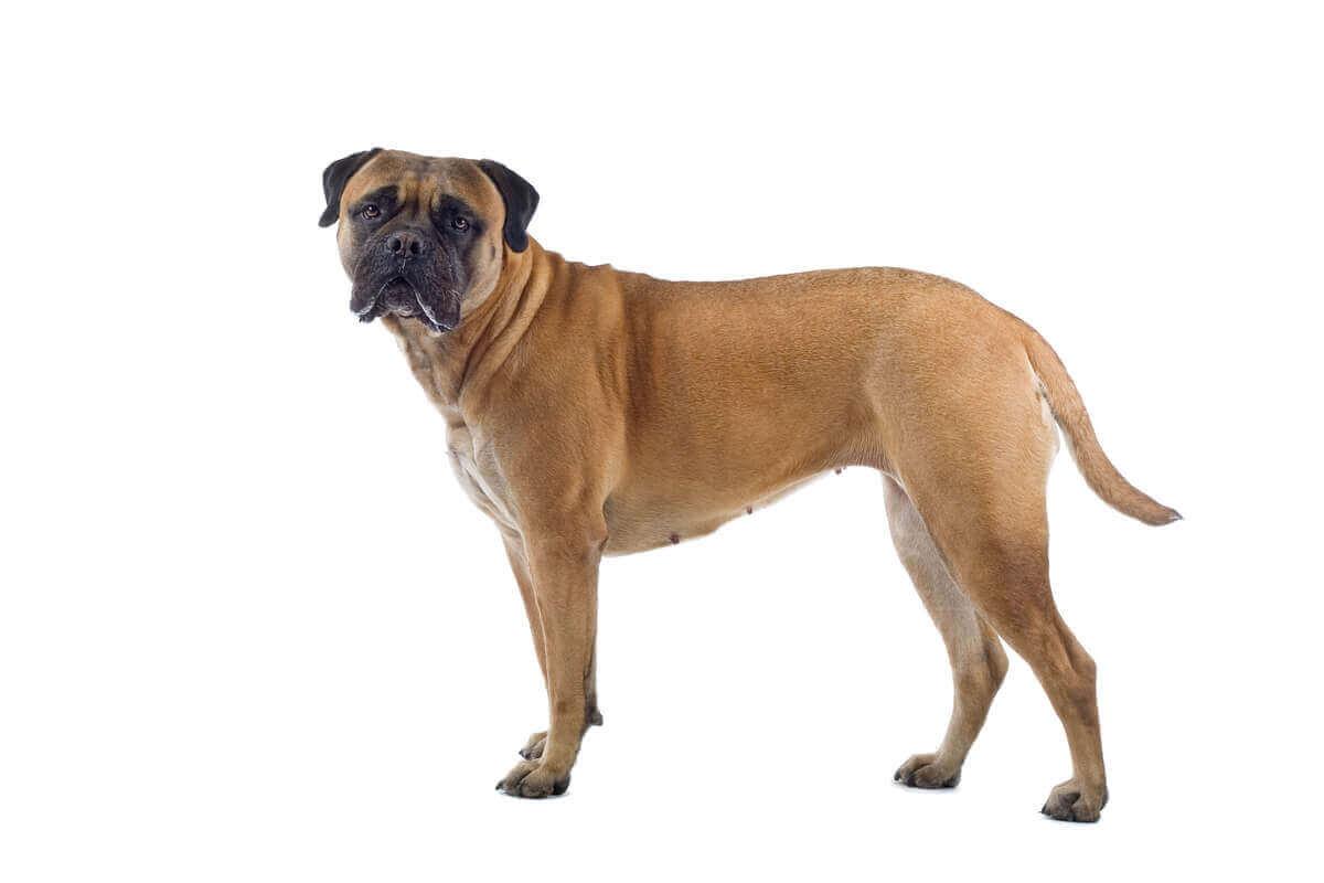 köpek ırkları, köpek, bullmastiff