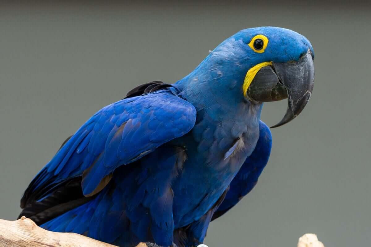 sümbül ara amerikan papağanı, papağan, papağan türleri