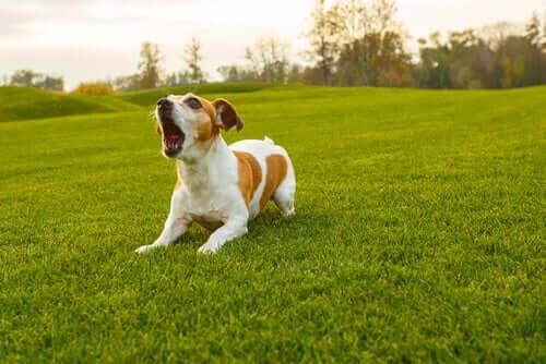Havlama Tercüme Cihazı: Köpeklerin Dilini Anlamak