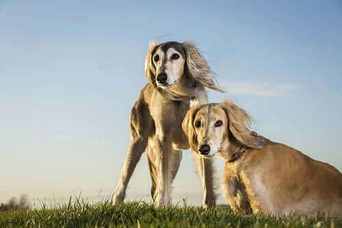 Saluki cinsi köpekler.