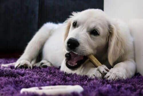 Yaşlı Köpekler İçin Doğru Diyetin Sağlanması