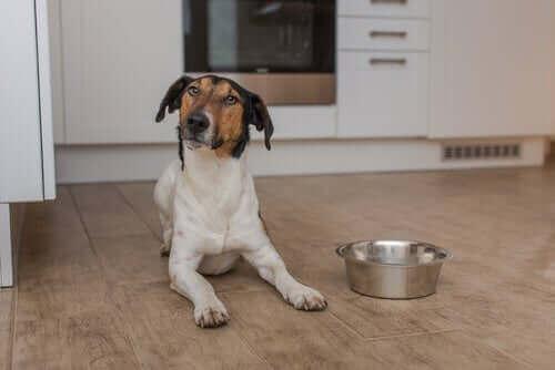 Yaşlı köpekler için diyet nasıl olmalı?