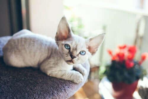Yalnız Kalmaktan Hoşlanmayan Kedi: Devon Rex