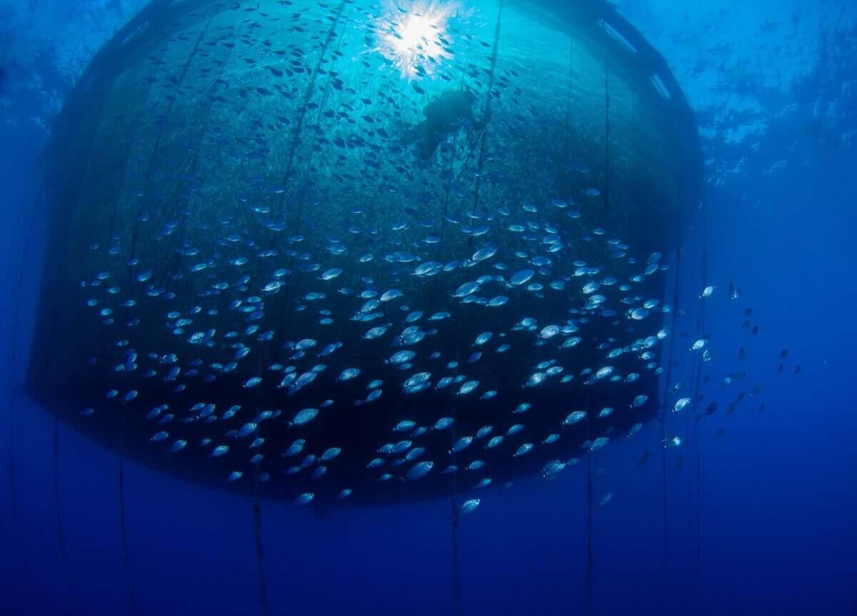 Ağın içinde balık sürüsü ve dalgıç