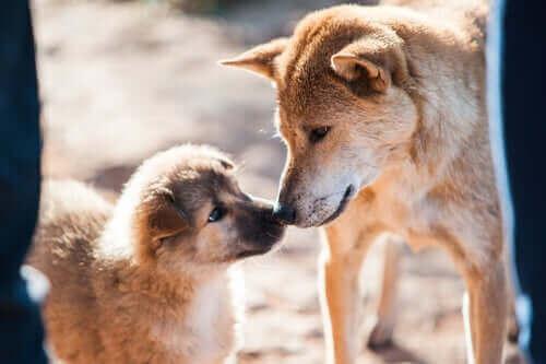 Köpekler: Başarılı Çiftleştirme
