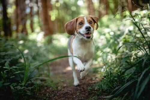Beagle'larda En Sık Görülen Hastalıklar Hangileridir?