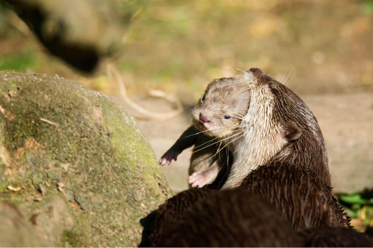 Yavrusunu ağzında taşıyan su samuru