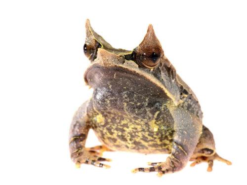Uzun Burunlu Boynuzlu Kurbağa: Ünlü Yaprak Kurbağası