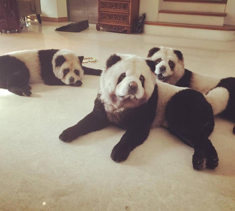 Panda Köpekler ve cinsleri.