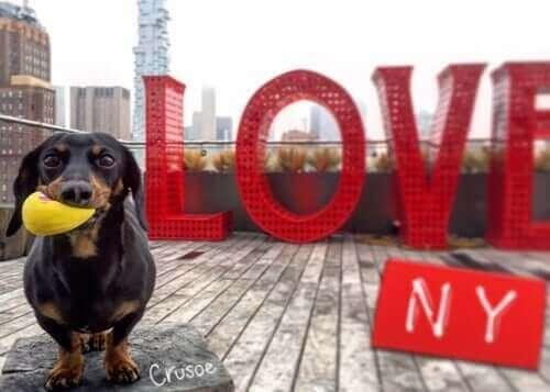 Crusoe ile Tanışın: Dünyaca Ünlü Wiener Köpek