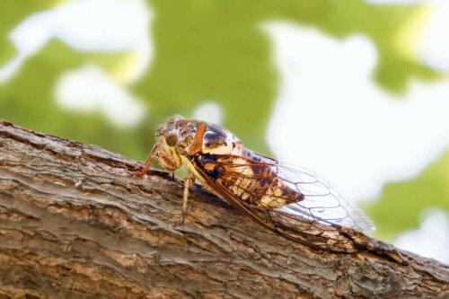 Ağustos Böcekleri Yazın Neden Şarkı Söyler?