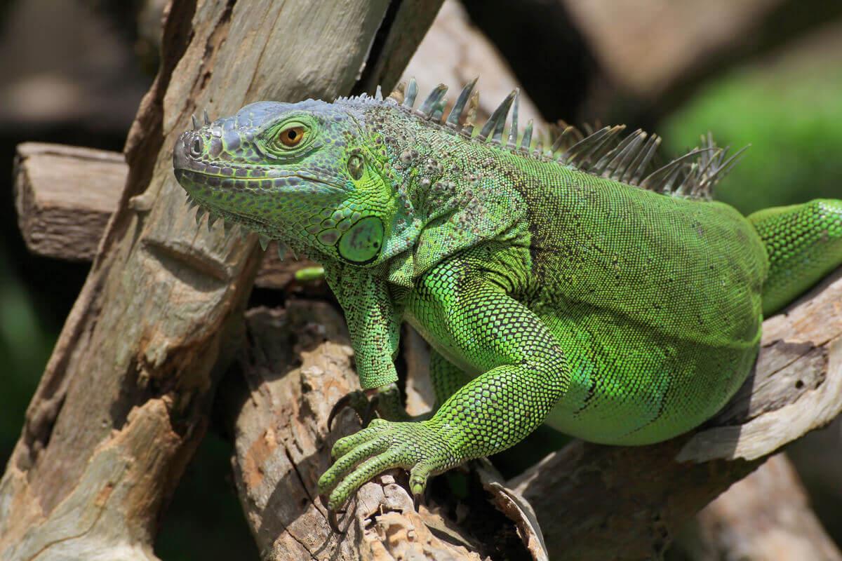 Açık havada dalda duran yeşil iguana