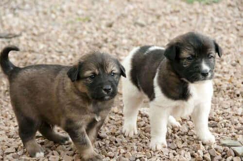 En Önemli Afrikalı Köpek Irkları Hangileri?