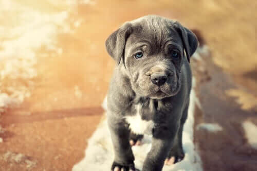 Napoli Mastifi: Evcil Hayvan Olarak Uysal Bir Dev