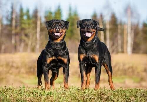 Güçlü köpek ırkları