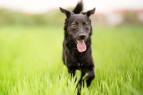 Kırma Köpekler Neden Benzersizdir?