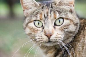 Yeşil gözlü bir kedi