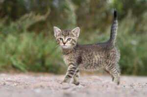 kuyruğu dik ayakta duran minik kedi