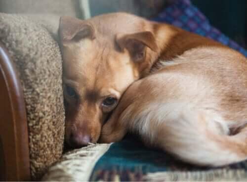 Köpeklerin % 72'sinden Fazlası Anksiyete Yaşıyor