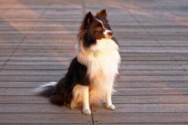 Köpeklerde Kepek: Sebepleri ve Tedavisi