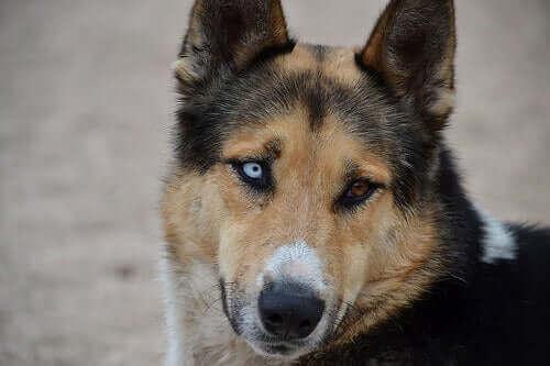 Köpeklerde Arpacık Bakımı: Gözlerini Temiz Tutmak