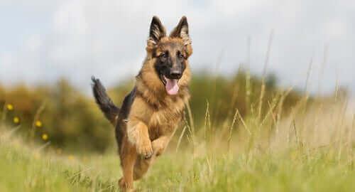 Kırlarda koşan çoban köpeği