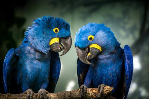Sümbül Ara Amerikan Papağanı Hakkında 8 İlginç Bilgi