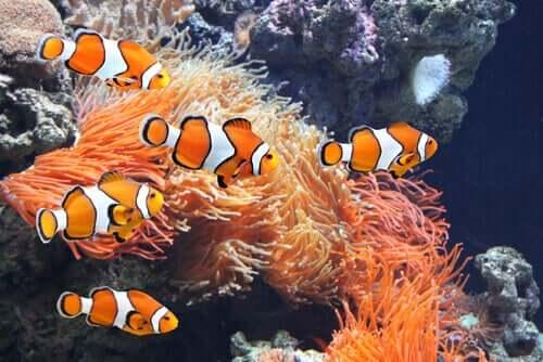 akvaryum palyaço balığı