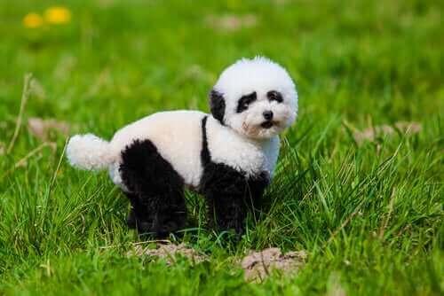 Panda Köpekler: Bilmek İstediğiniz Her Şey
