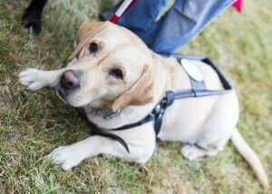 labrador rehber köpek