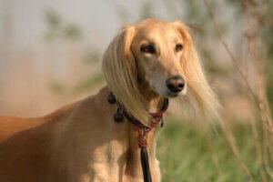 Saluki köpeği