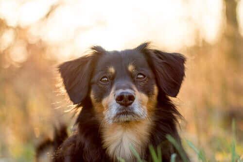 Karışık cins köpeklerin özellikleri.