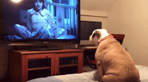 Korku Filmlerinin İngiliz Bulldog Bir Hayranı Var