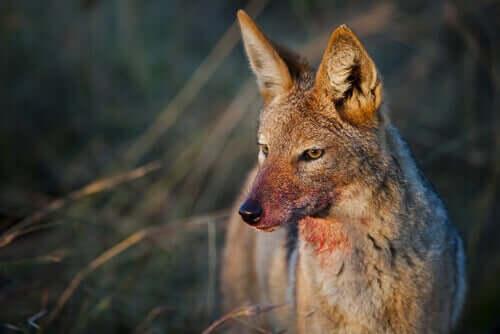 Kurnaz Vahşi Köpekgiller Hakkında Her Şeyi Öğrenin