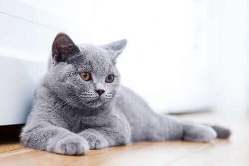 Kediler neden eşyaları yere atar_