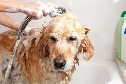 Şampuanla sahibi tarafından küvette yıkanan köpek