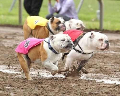 Bulldog Koşusu etkinliğinden bir fotoğraf.