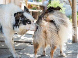 köpeklerde cinsel yolla bulaşan hastalıklar