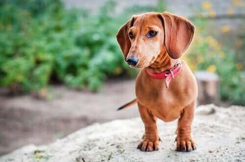 9 Popüler Alman Köpek Irkı
