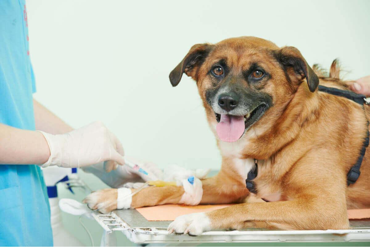veterinerde serum alan köpek